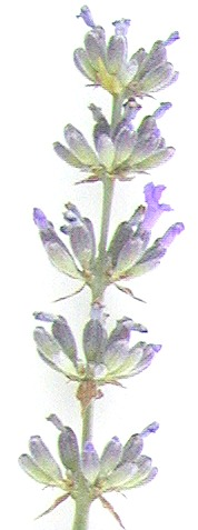 Grappenhall Lavender Wand 3