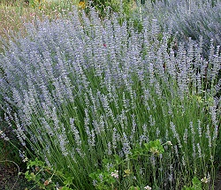 Mature Grappenhall Lavender in full bloom