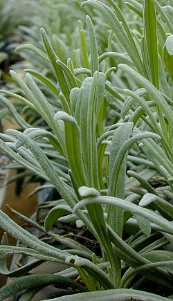Grappenhall Lavender's long leaves