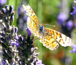 Grosso Lavender and butterfly