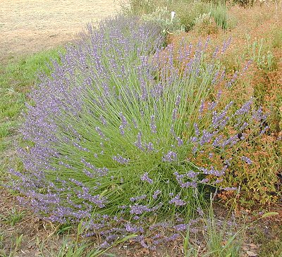 This picture of Grosso Lavender takes a few extra seconds to load. But, it shows how beautiful these plants are.