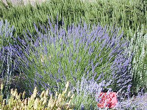 Grosso Lavender with Rosemary and Lavender Vera