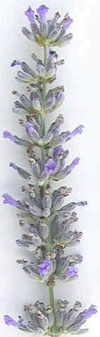 Provence Lavender Wand 2