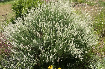 4 feet wide and 3 feet tall beautiful white lavender