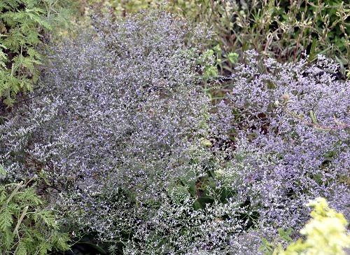Sea Lavender in full bloom