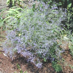 Sea Lavender Spray In the Garden