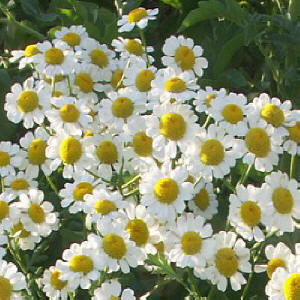 German Chamomile flowers in spring