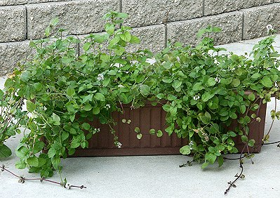 Lavender Mint in a Window Box