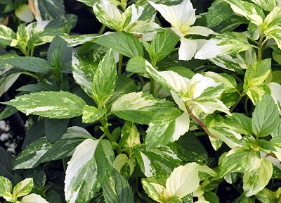 Variegated Peppermint Plant