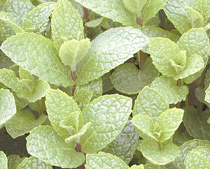 Kentucky Colonel Mint Plant