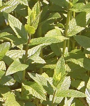 Close up of Spearmint Mint the Best