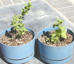 Two Pots of Egyptian Mint, One is Old and One is New