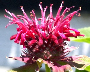 Cambridge Scarlet Bee Balm