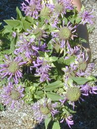 Purple Bee Balm Flowers