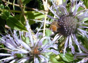Lavender Bee Balm plant in flower with two honey bees.
