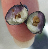 Tiny Myrtle Berry Cut in Half.