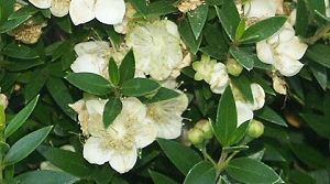 The fragrant white and cream flowers of Dwarf Sweet Myrtle