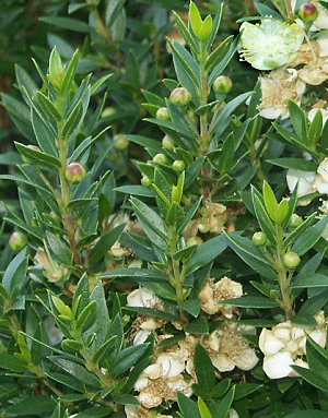 Close up of Dwarf Sweet Myrtle leaves