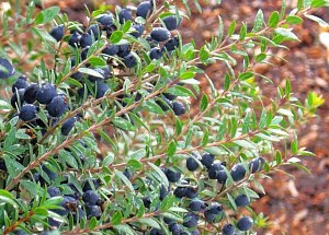 Sweet Myrtle stems with dark blue berries.