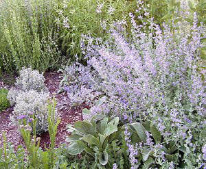 Giant Catmint in full bloom in the garden