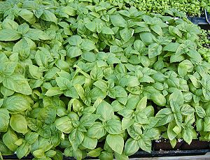 Organic Sweet Basil Plants in three inch pots