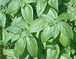 Sweet Basil Tops