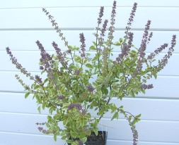 Mature Variegated African Blue Basil