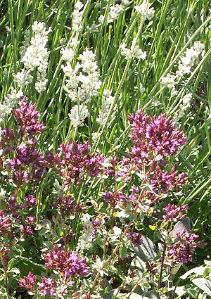 Hopley's Purple Oregano and White Grosso Lavender