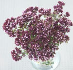 Simple vase agrangement of Rosenkuppel Oregano flowers