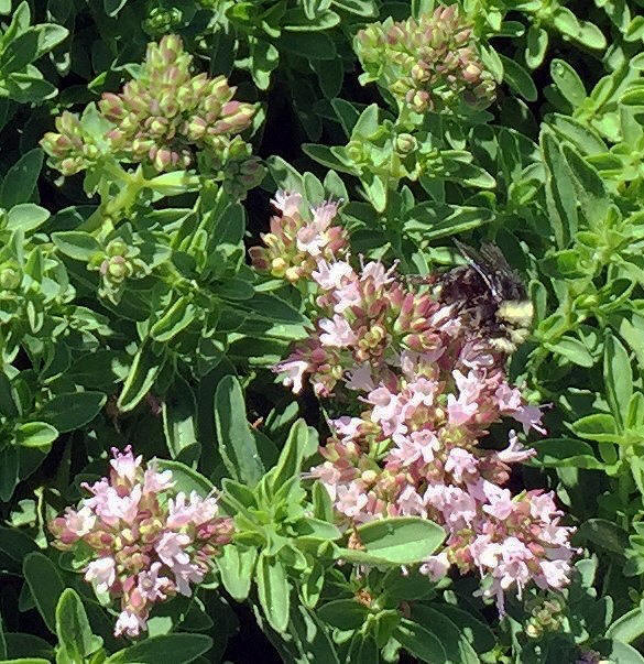 Mounding Marjoram flowers with bee