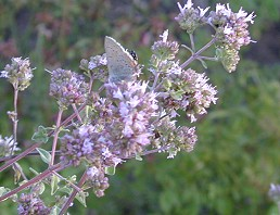 Dwarf Pink Oregano Flowers and Butterfly
