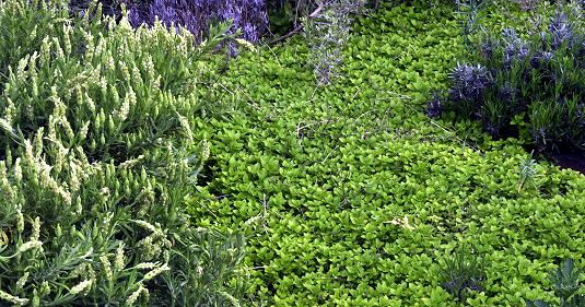 A river of Creeping Golden Marjoram