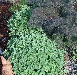Greek Oregano in early spring with Bronze Fennel
