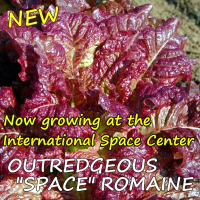 Outredgeous Romaine