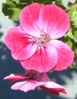 Image gallery scented geraniums - Different types pelargoniums ...