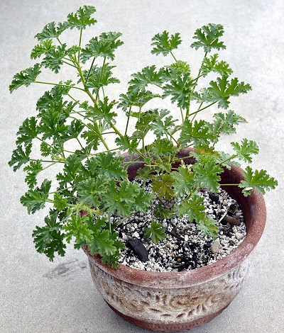 Apricot Scented Geranium in a pot.