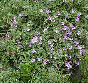 Village Hill Oak Scented Geranium in Bloom
