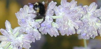 RUSSIAN SAGE FLOWER WTIH BUMBLE BEE