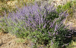 RUSSIAN SAGE PLANTS IN THE GARDEN