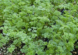 Lots and lots of Curled Parsley!