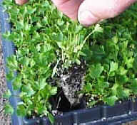 Young Parsley Plugs