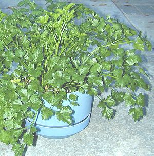 Italian Flat Leaf Parsley growing in a pot