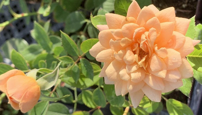 Apricot Twist Miniature Rose Blooms