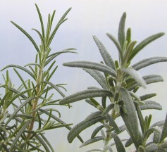 Comparison between Pine Rosemary and White Rosemary