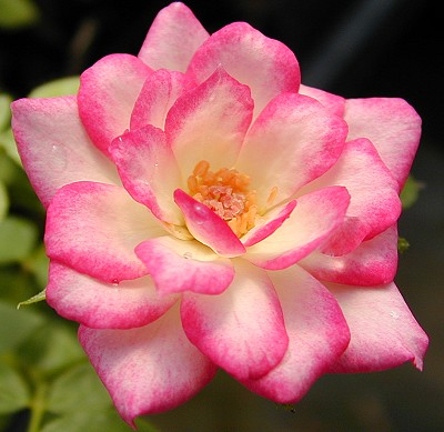 A fully open Magic Carrousel Rose flower