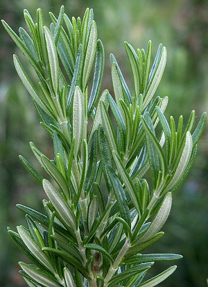 Spice Islands Rosemary