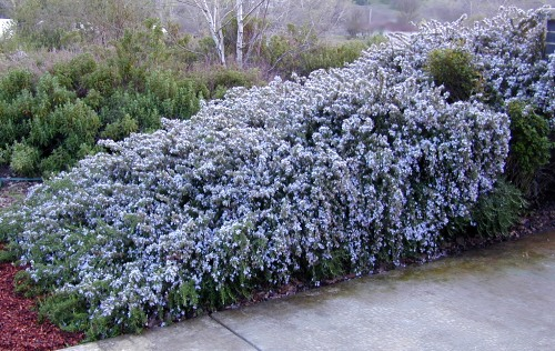 Mounded Mature Trailing Rosemary in Full Bloom