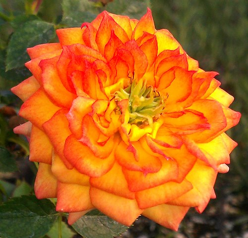 Ring of Fire Miniature Rose