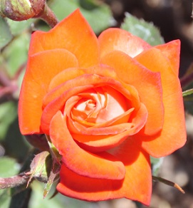 Torch of Liberty Miniature Rose