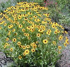Black Eyed Susan in all its Glory